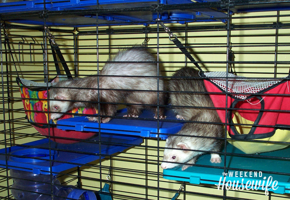 The Weekend Housewife - Our Ferrets